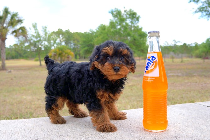 Claire is the Yorki-poo for sale in Florida! 5