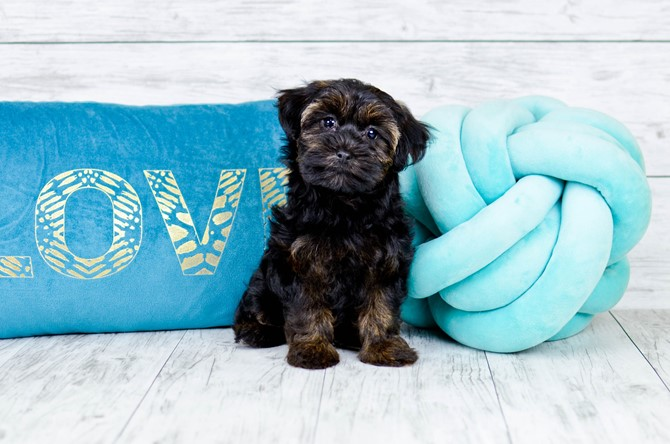 Yorkie-poo puppy for sale! 5