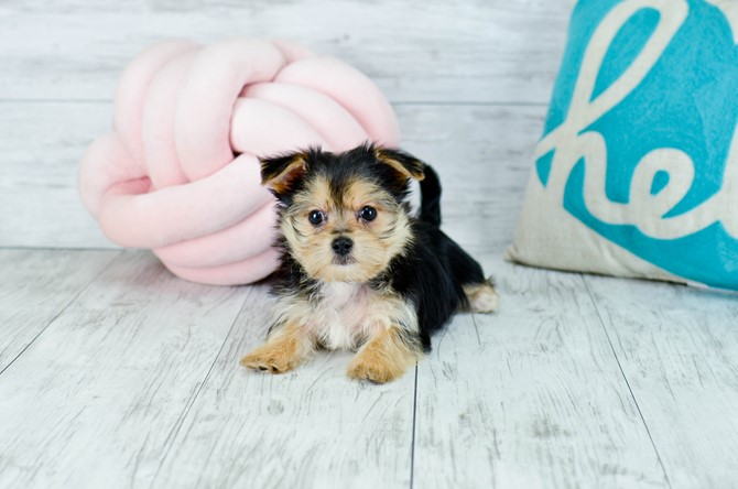 Morkie Puppy for sale! 7