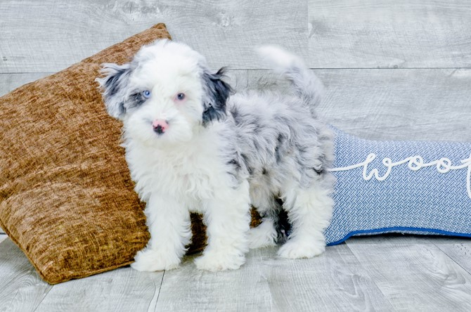 F1B Mini Sheepadoodle puppy for Sale! 4