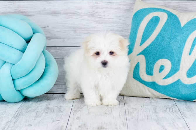 Maltese Puppy for sale! 7