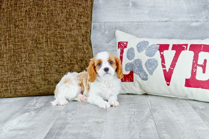 Cavalier puppy for sale! 4