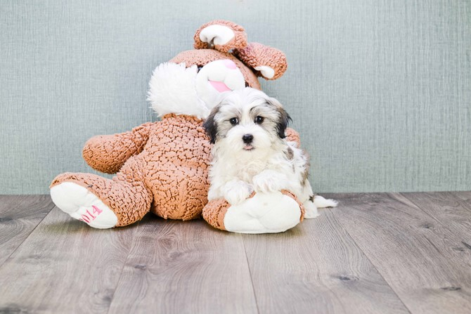 Havanese for sale!  1