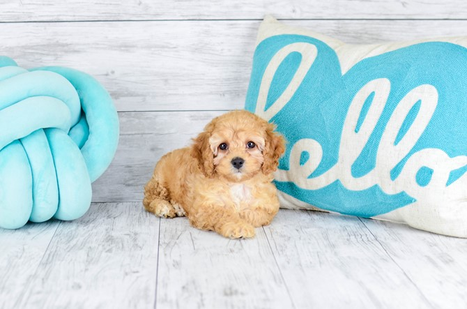 Mini-Goldendoodle for sale! 4