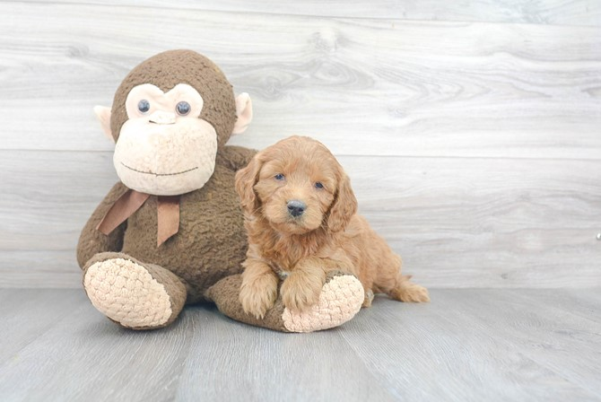 Mini-Goldendoodle for sale! 2