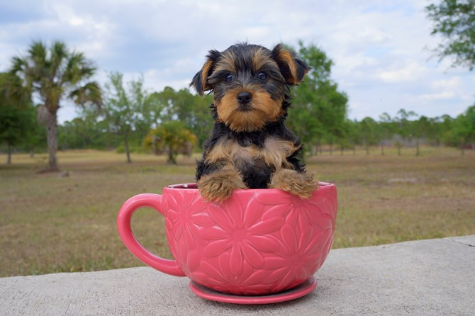 Laura is the Yorkie for sale near Miami! 2