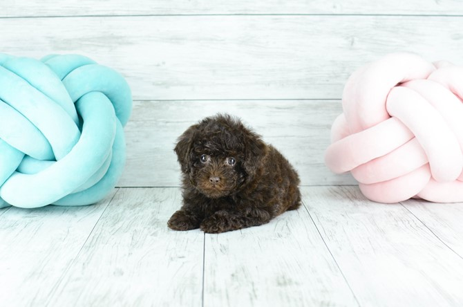 Toy Poodle for sale! 1