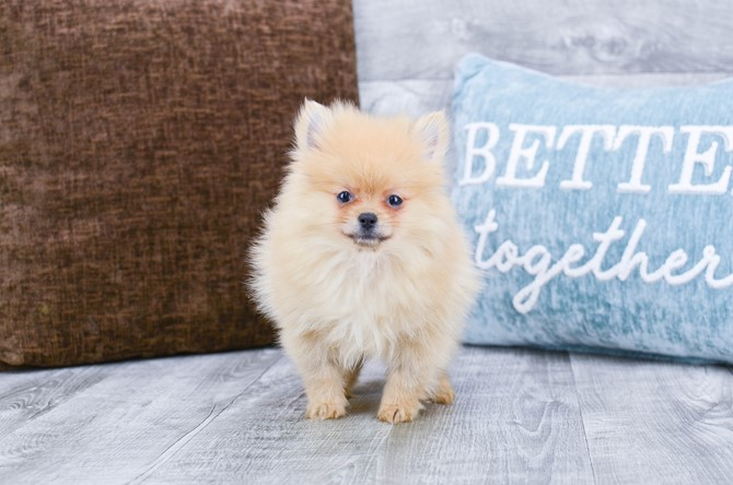 Pomeranian puppy for sale! 2