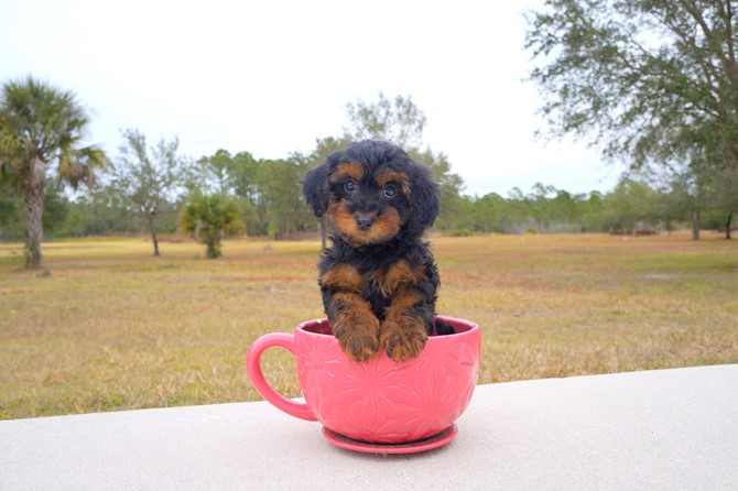 Yorkie poo Puppy for sale! 1