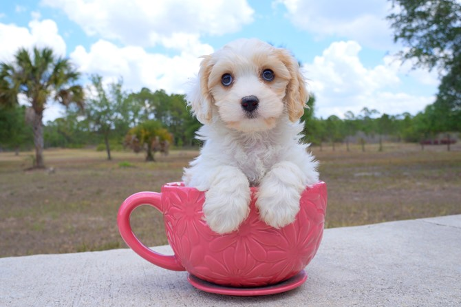 Meet Shara the Cavachon for sale near St. Pete! 2