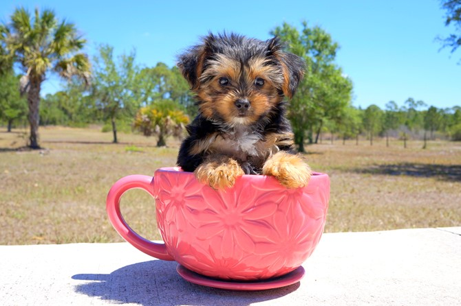 Melvin is the Yorkie for sale near St. Pete. 5