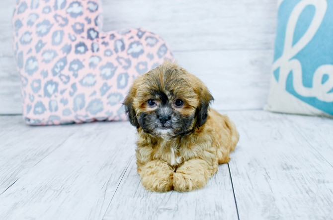 Teddybear puppy for sale! 4