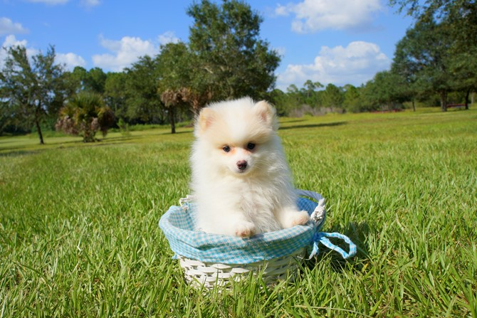 Pomeranian for sale! 2