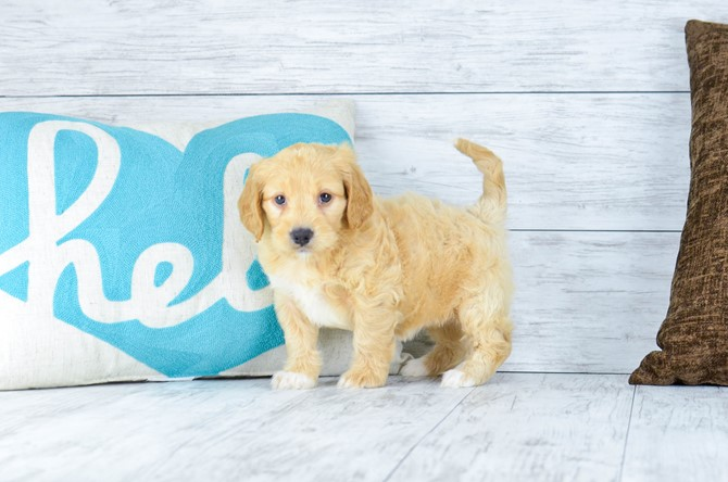 Mini-Goldendoodle for sale! 1