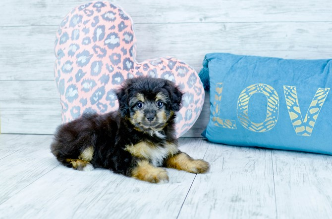 Mini-Aussie puppy for sale! 2