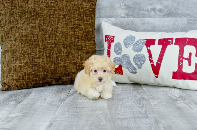 Malti-poo puppy for sale! 1