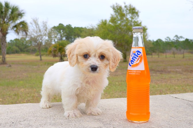 Jacob is the Cavachon for sale in Florida! 2