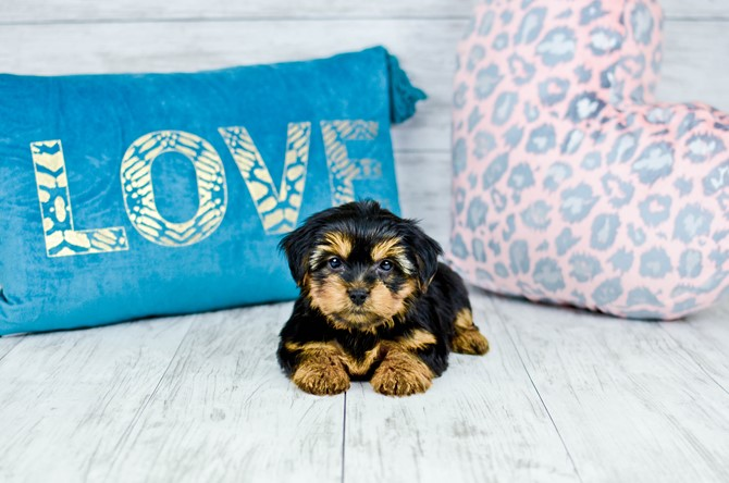 Yorkie puppy for sale! 9