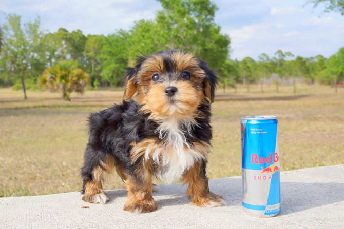 Collin is the Morkie for sale near Orlando! 2