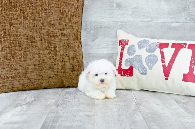 Maltese Puppy For Sale!!! 3