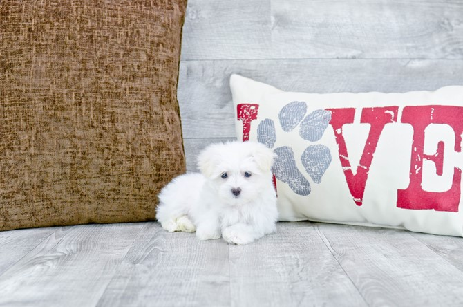 Maltese Puppy For Sale!!! 1