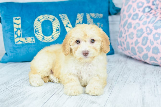 Malti-poo Puppy for Sale! 7