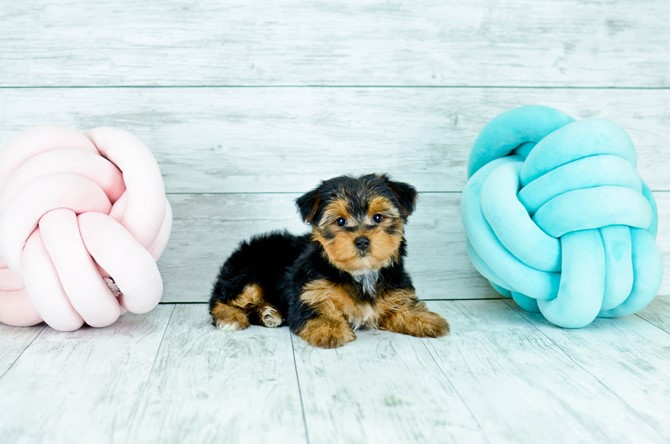 Yorkie Puppy for sale! 1