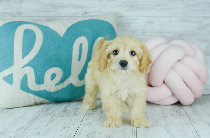 Cavachon puppy for sale! 4