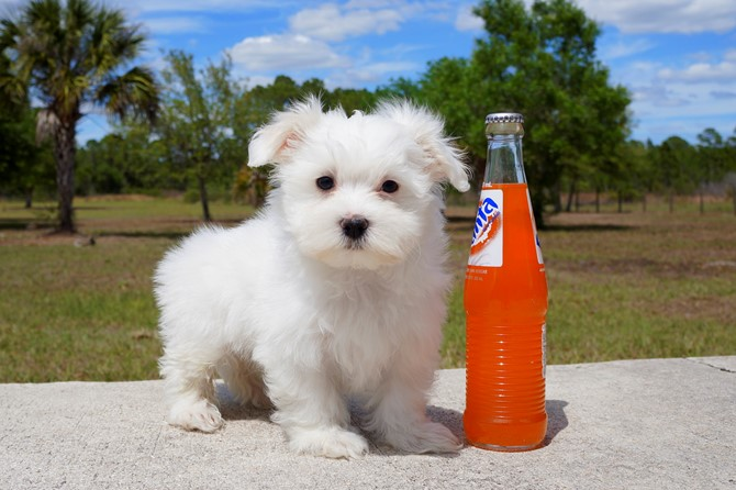 James is the Maltese for sale near Orlando! 1