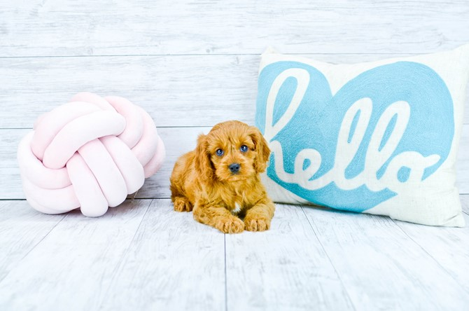 Cavapoo puppy for sale! 1