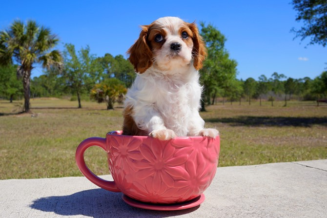 Meet Gaston the Cavalier for sale in Florida! 3