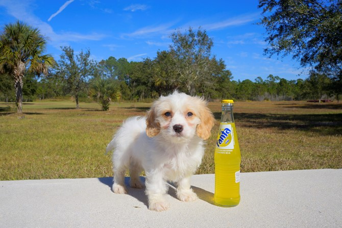 Cavachon Puppy for sale! 2