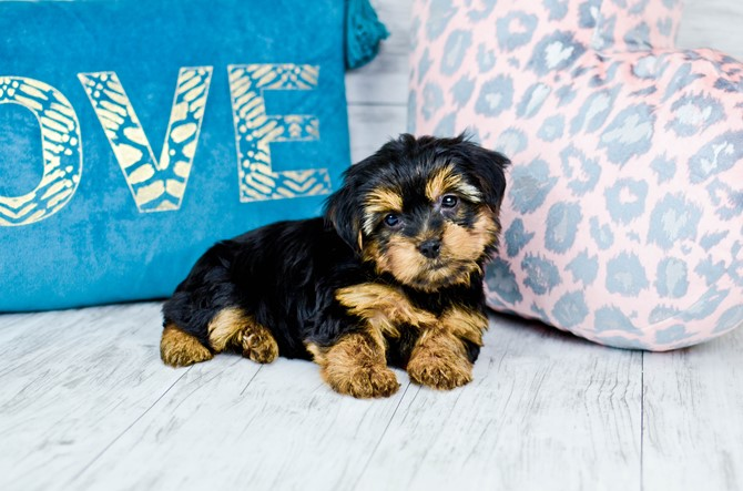 Yorkie puppy for sale! 8