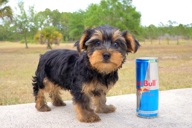 Laura is the Yorkie for sale near Miami! 3