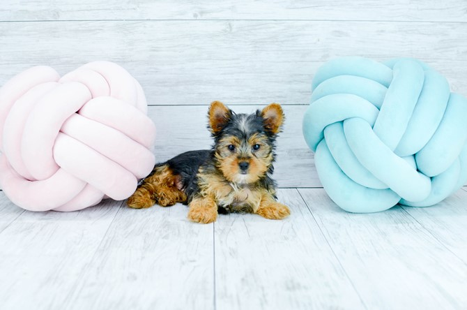 Yorkie puppy for sale! 2