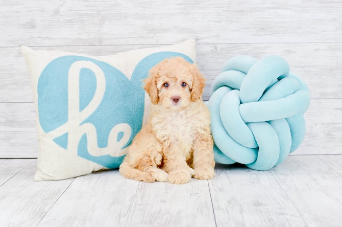 Cavapoo puppy for sale! 6
