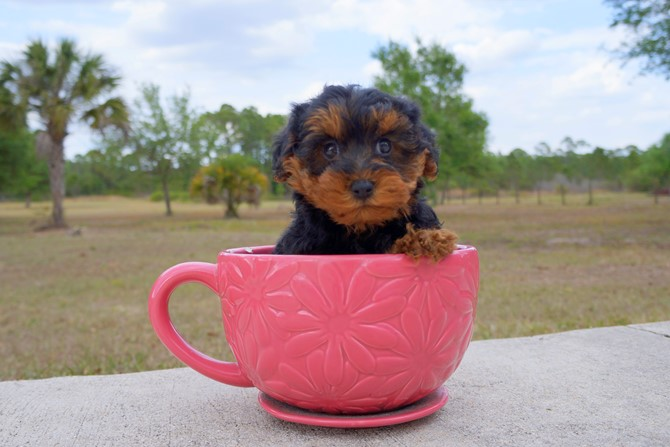 Claire is the Yorki-poo for sale in Florida! 2