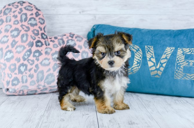 Morkie Puppy for sale! 6