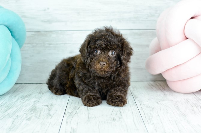 Toy Poodle for sale! 3