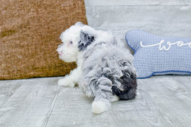 F1B Mini Sheepadoodle puppy for Sale! 6