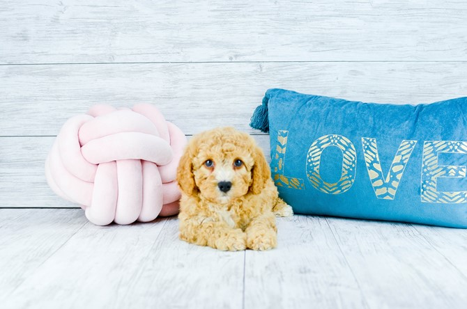 Cavapoo puppy for sale! 3