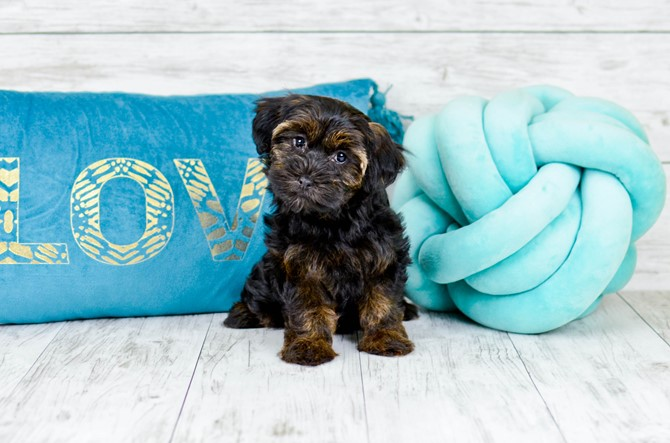 Yorkie-poo puppy for sale! 2