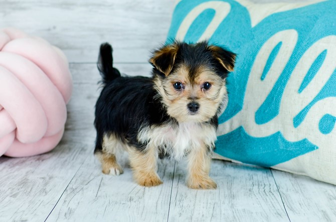 Morkie Puppy for sale! 8