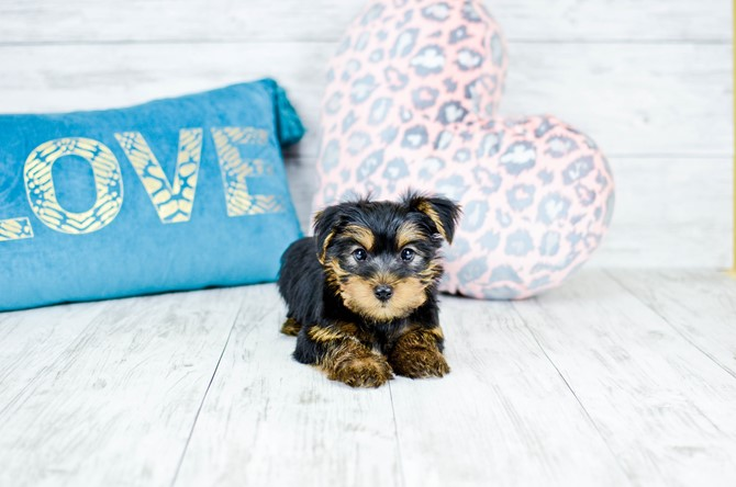 Yorkie puppy for sale! 6