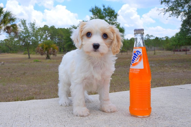Meet Shara the Cavachon for sale near St. Pete! 1