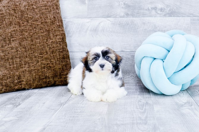 Havanese Puppy for sale! 2