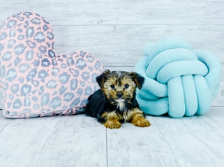 Puppies for sale in Florida |Buy teacup small breeds puppies