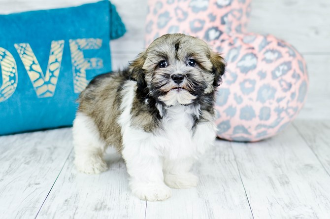 Havanese puppy for sale! 6