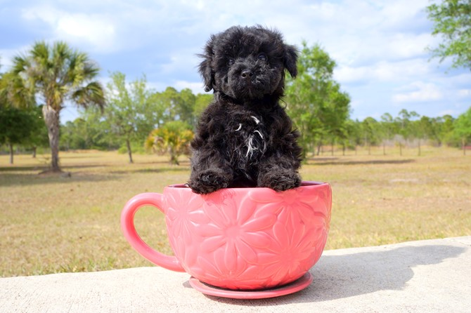 Meet Barret the Cavapoo for sale near Miami! 2