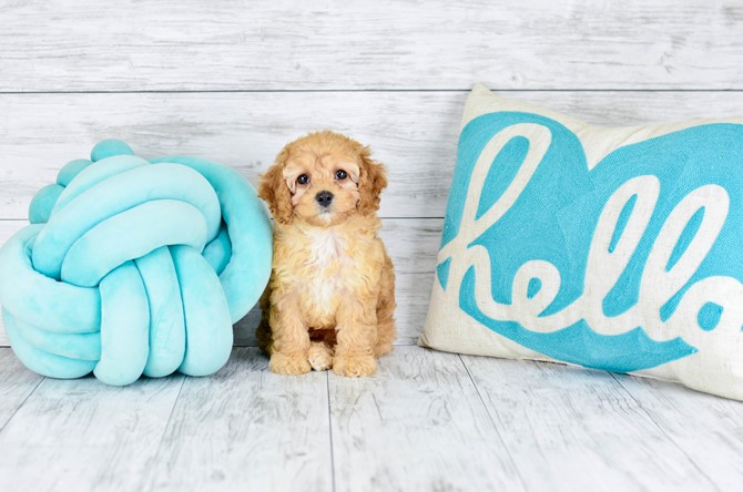 Mini-Goldendoodle for sale! 3